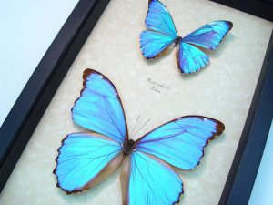 Morpho Butterfly Collection Blue Framed Butterflies ooak