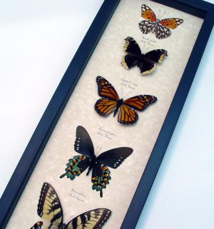 North American Butterfly Collection Framed Butterflies ooak