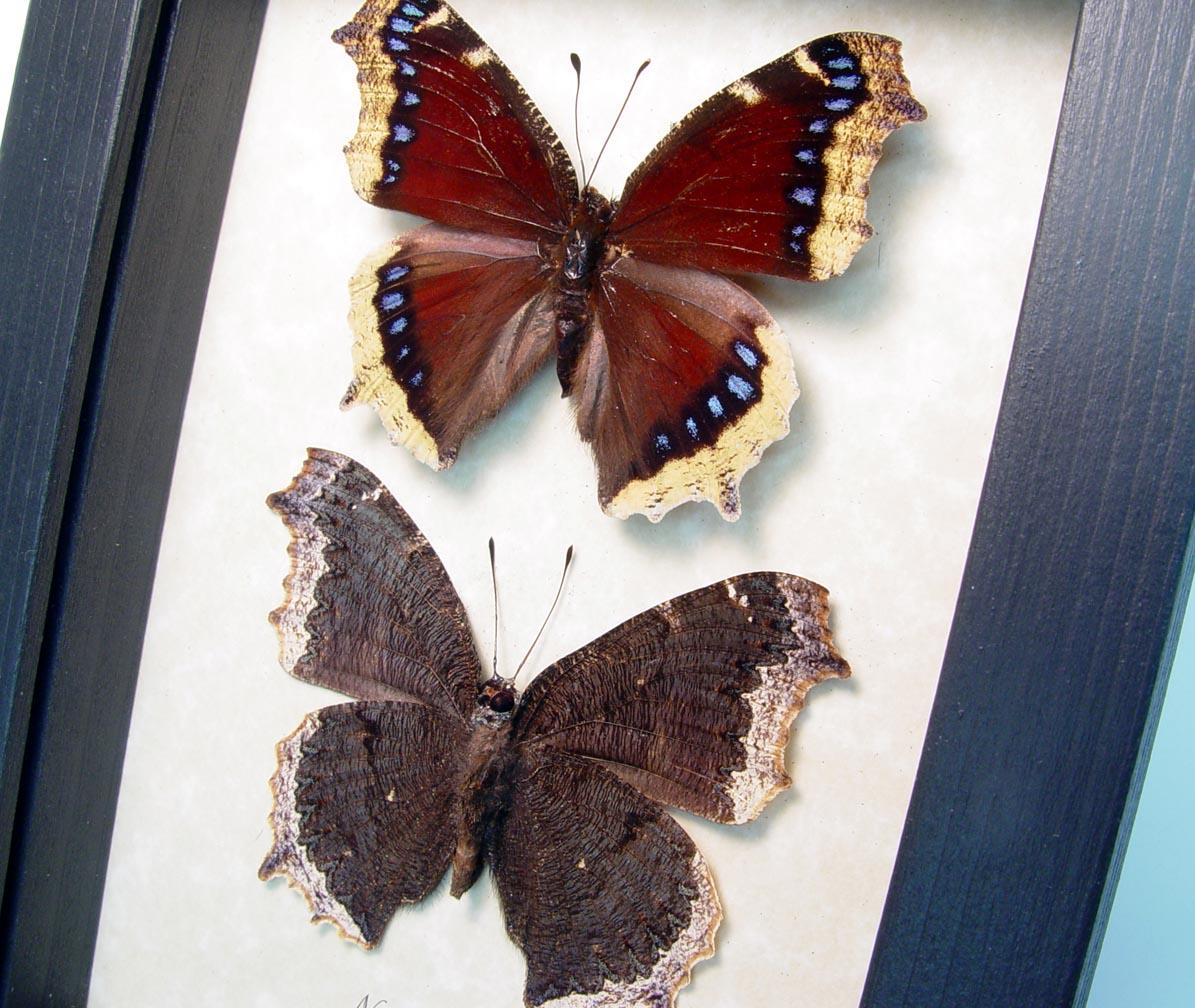 Framed Mourning Cloak Butterflies Nymphalis Antiopa Set ooak