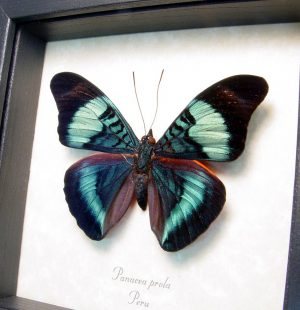 Framed Panacea prola Red Flasher Prola Beauty Butterfly ooak
