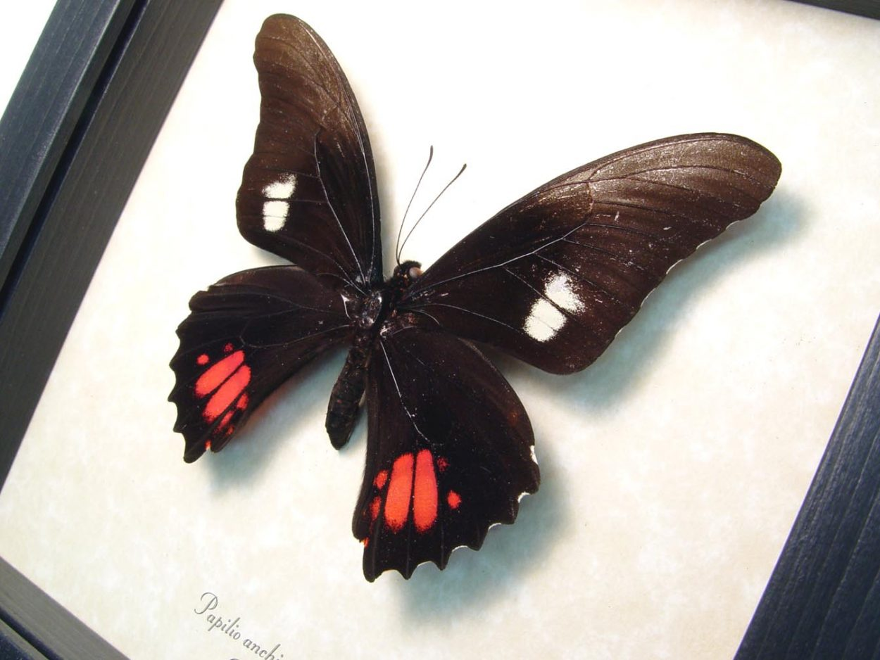 Papilio anchisiades Ruby Spotted swallowtail Butterfly ooak