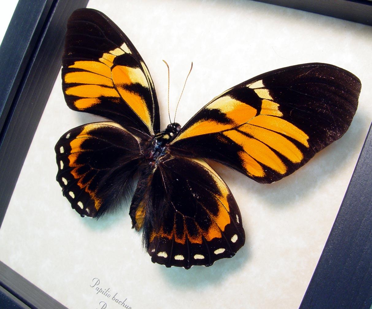 Papilio bachus Female Orange Mimic Butterfly ooak