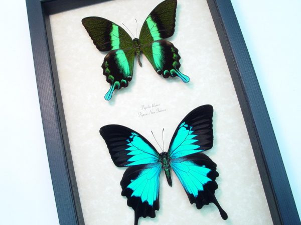 Framed Butterflies Peacock Swallowtail Butterflies Set ooak