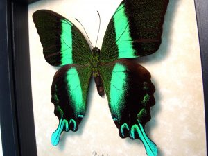 Peacock Swallowtail Framed Butterfly Papilio blumei ooak