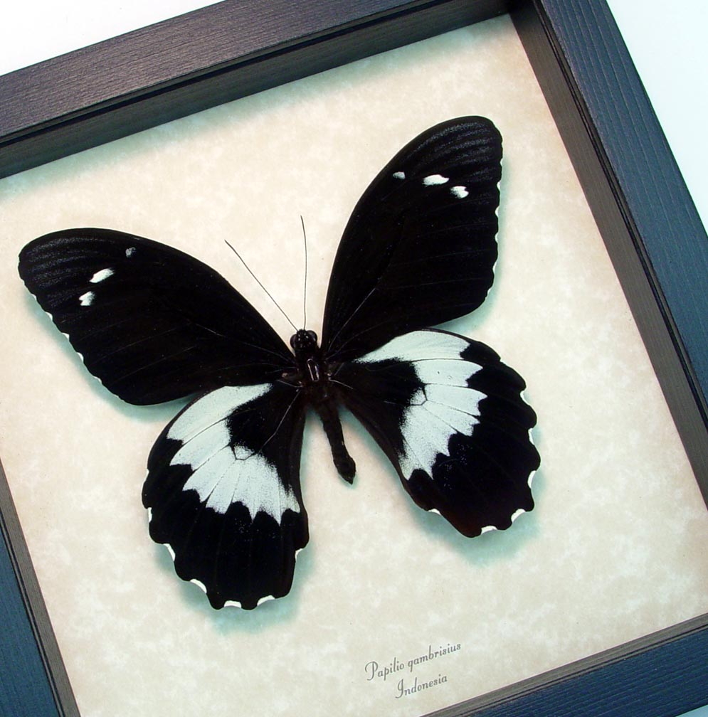 Black Butterfly Forest Giant Butterfly Papilio gambrisius ooak