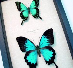 Butterfly Collection Blue Green Swallowtail Butterflies ooak