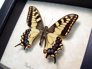Old World Swallowtail Papilio machaon Female Japanese Butterfly ooak