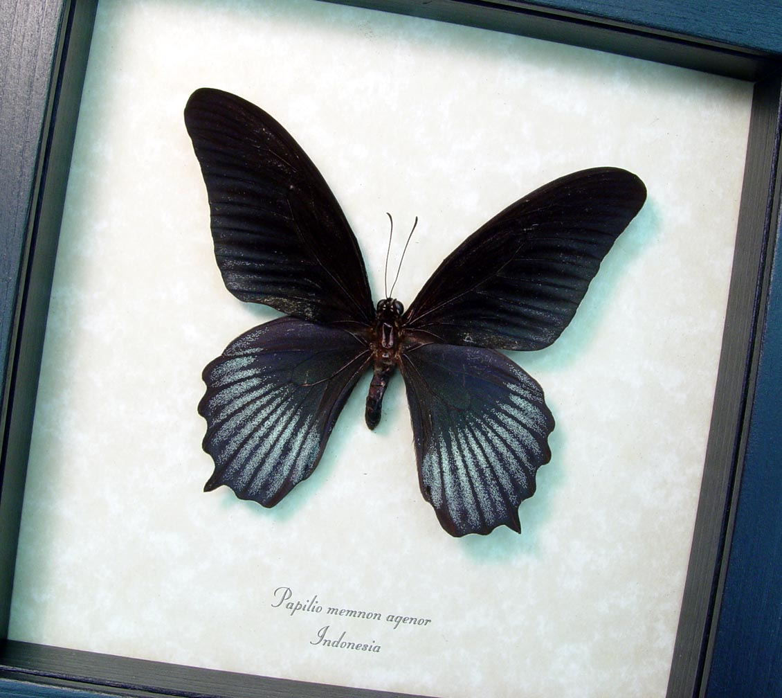 Framed Black Butterfly Papilio Memnon Agenor ooak