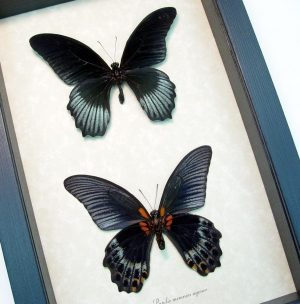 Framed Black Butterflies Set Papilio Memnon Agenor ooak