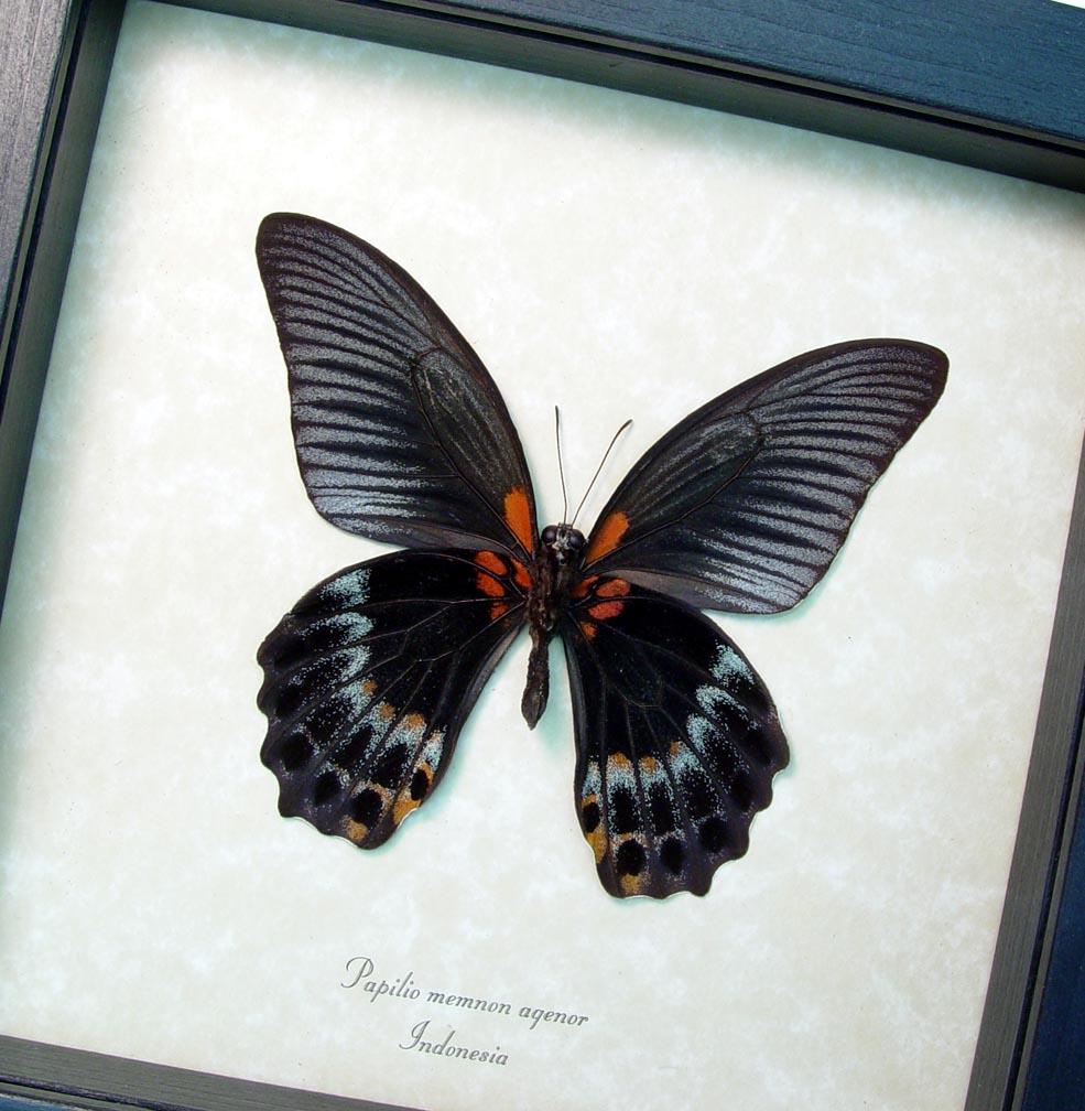 Framed Black Butterfly Papilio Memnon Agenor verso ooak