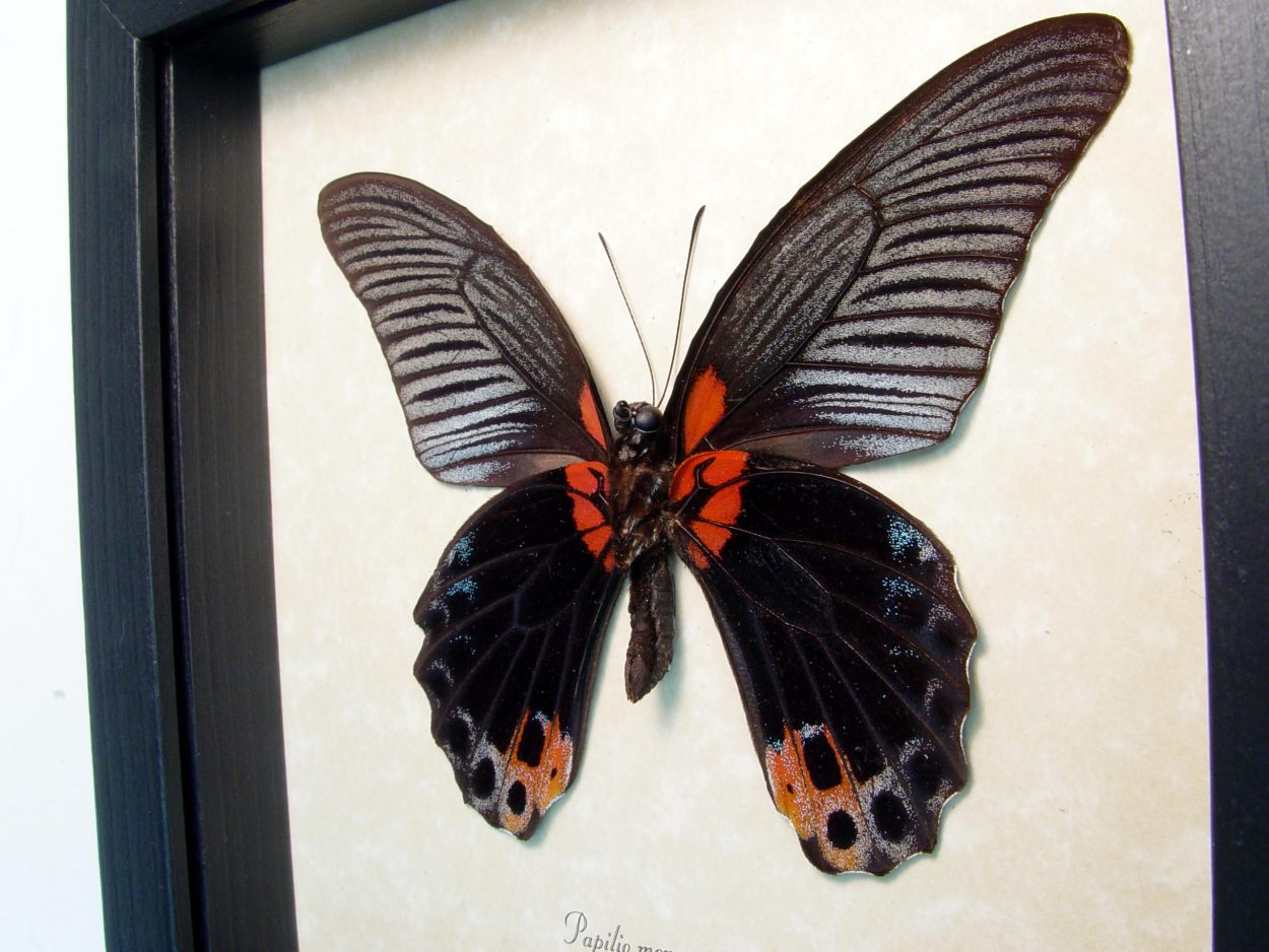 Framed Black Butterfly Papilio Memnon Great Mormon ooak