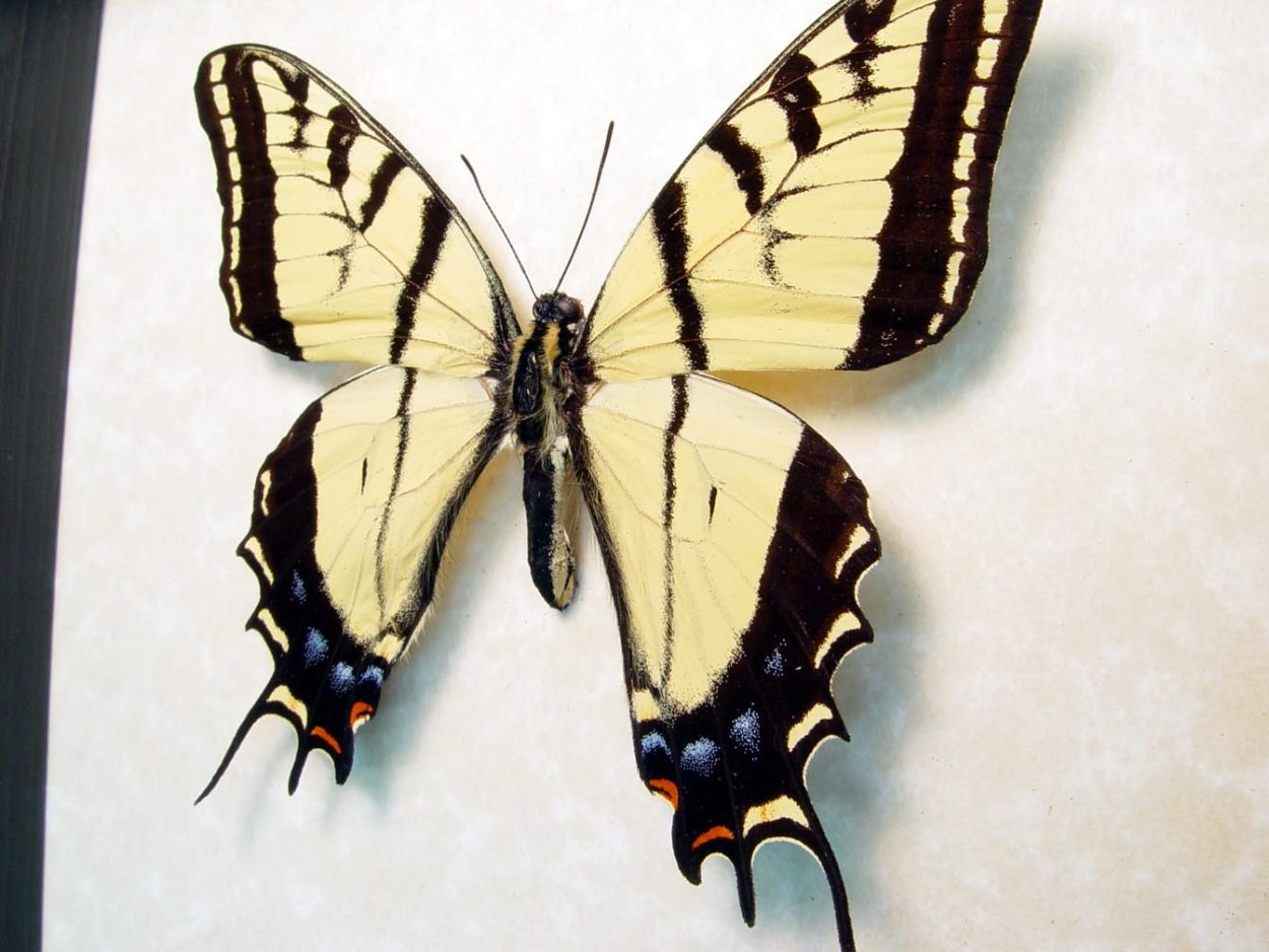 Papilio Multicaudata Two Tailed Swallowtail Butterfly ooak