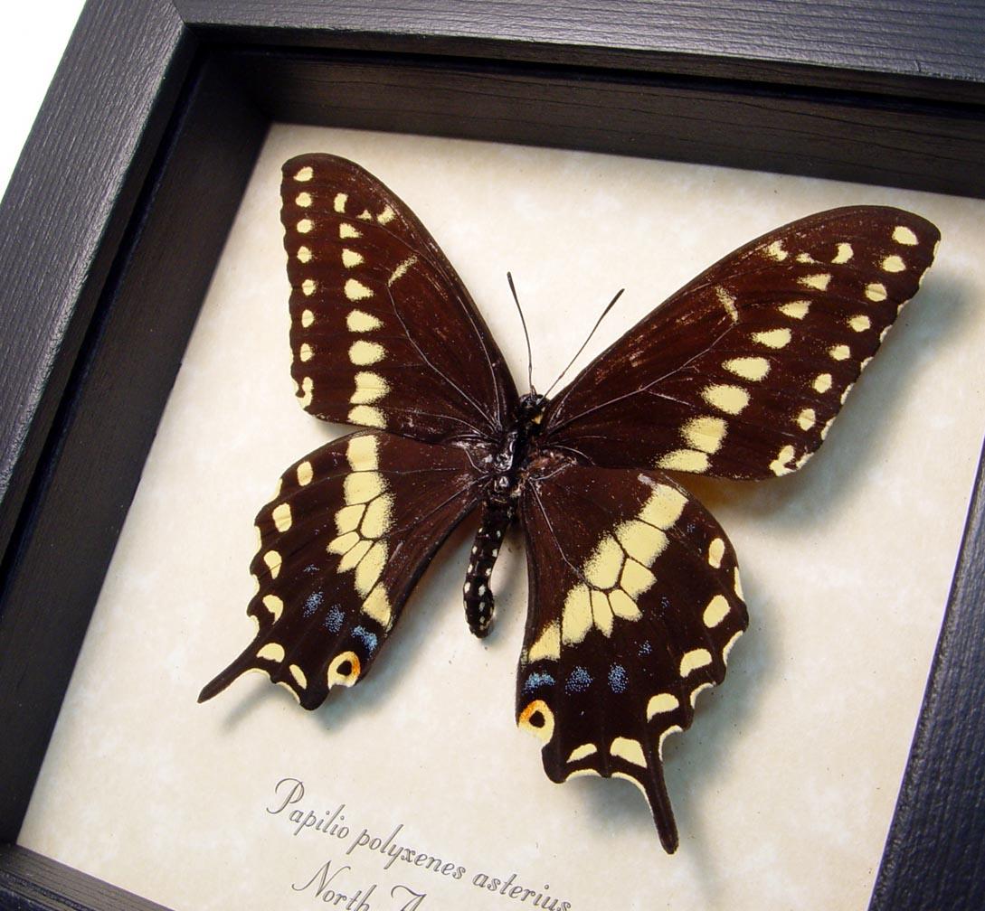 Papilio polyxenes Eastern Black Swallowtail Framed Butterfly ooak