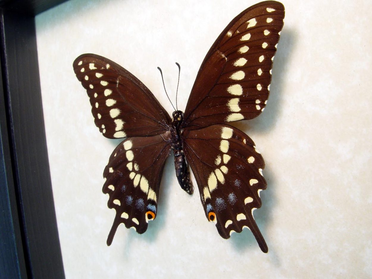 Papilio polyxenes asterius female Black Swallowtail Butterfly ooak