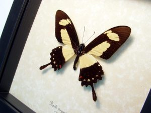 Papilio torquatus Golden Swallowtail Butterfly ooak