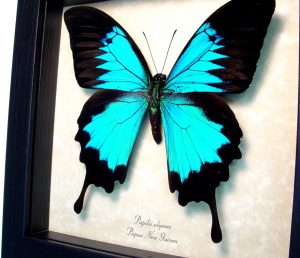 Framed Papilio ulysses Blue Mountain Swallowtail Butterfly ooak