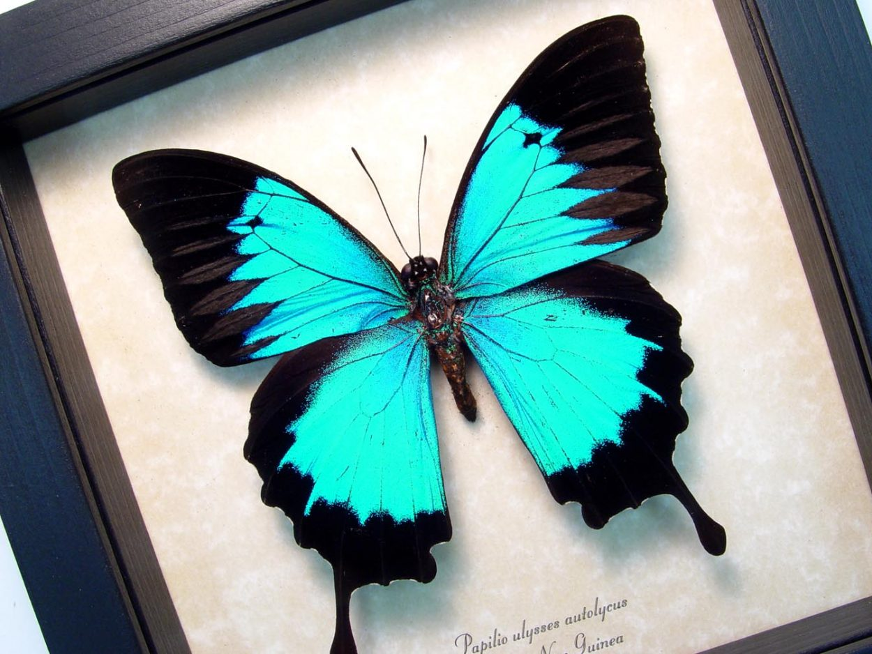 Blue Mountain Swallowtail Framed Butterfly ooak
