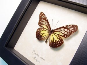 Yellow Glassy Tiger Butterfly Parantica aspasia ooak