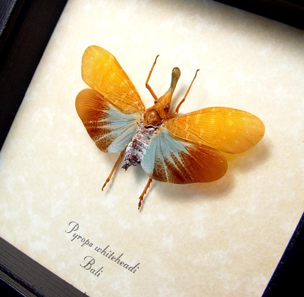 Blue Bulbous Snout Lanternfly Framed Pyrops whiteheadi ooak