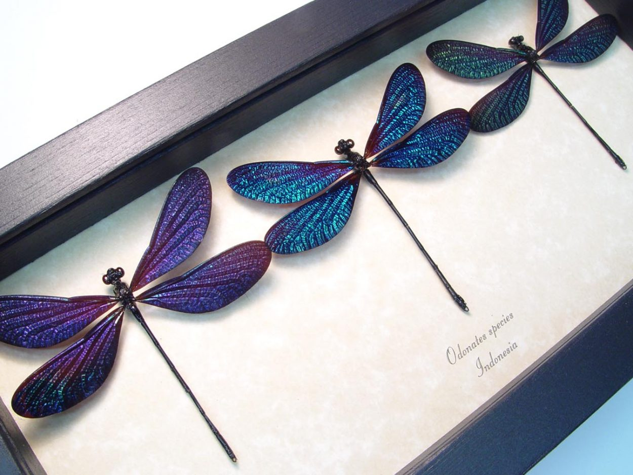 Real Framed Damselflies Aurora Borealis Damselfly Set