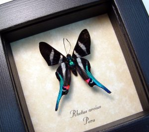 Framed Rhetus arcius Blue Swallowtail Framed Butterfly ooaK