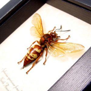 Sphecius speciosus Female Cicada Killer Wasp ooak
