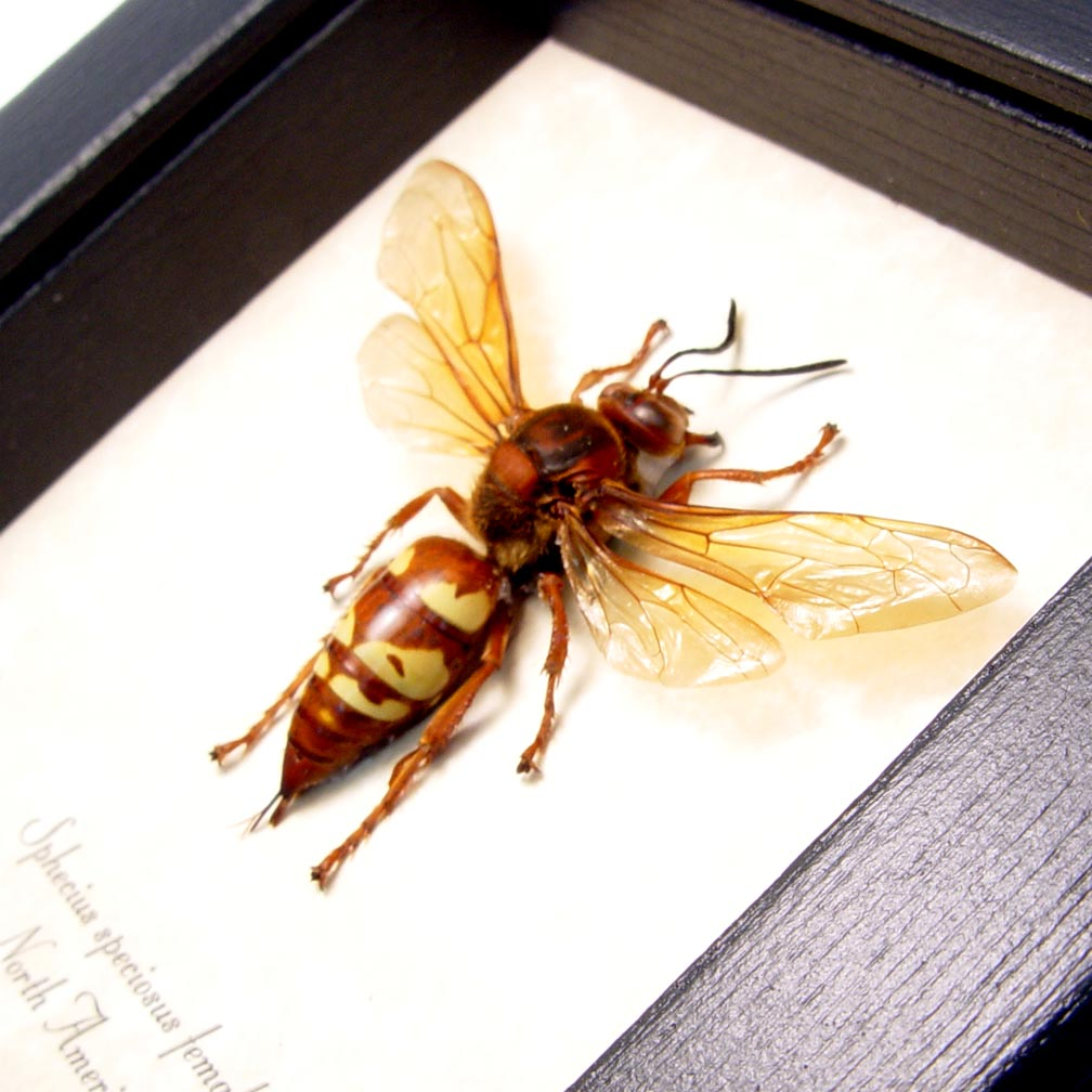 Sphecius speciosus Female Cicada Killer Wasp ooak