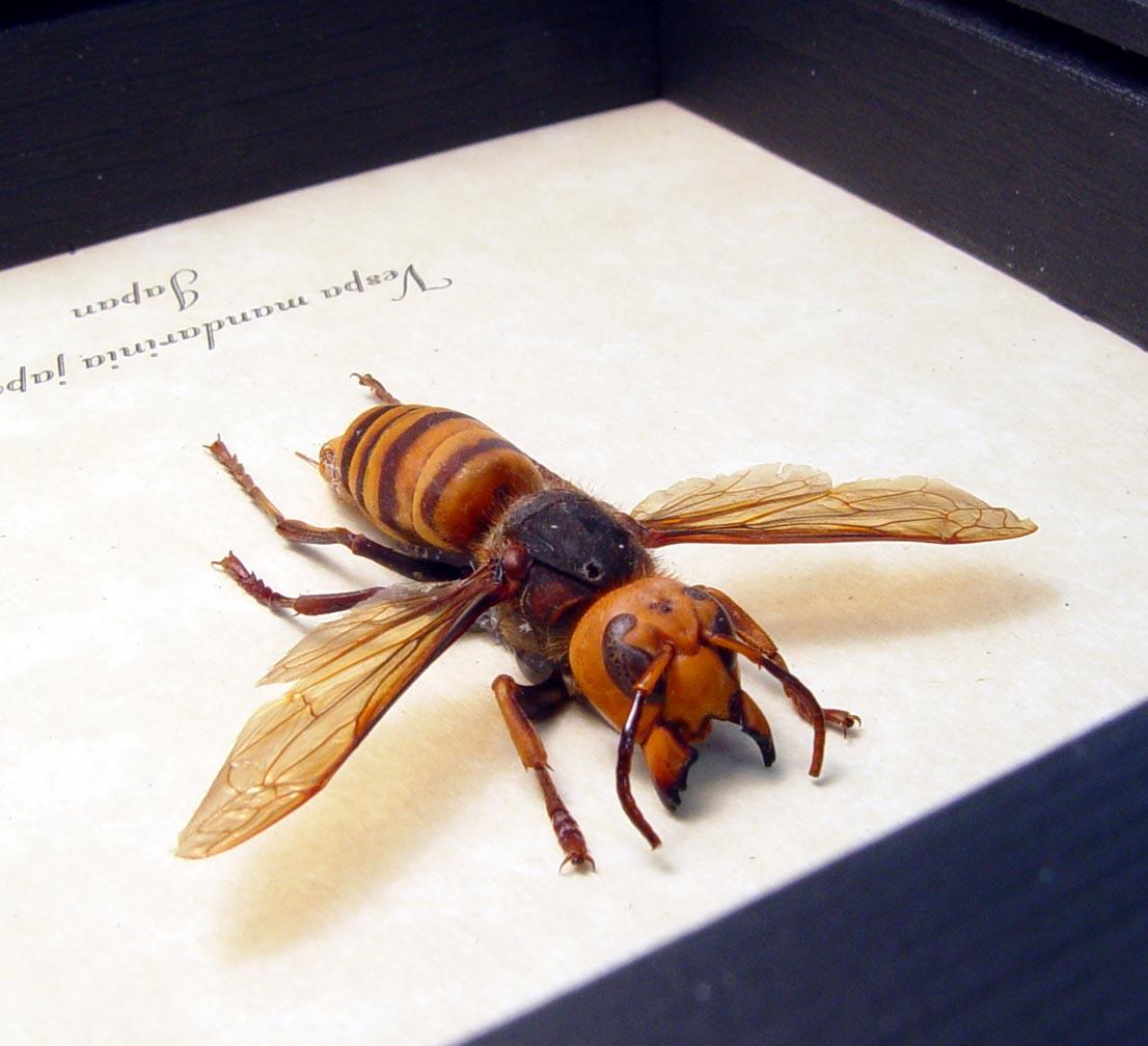 Framed Murder Hornet Asian Hornet Vespa mandarinia japonica ooak