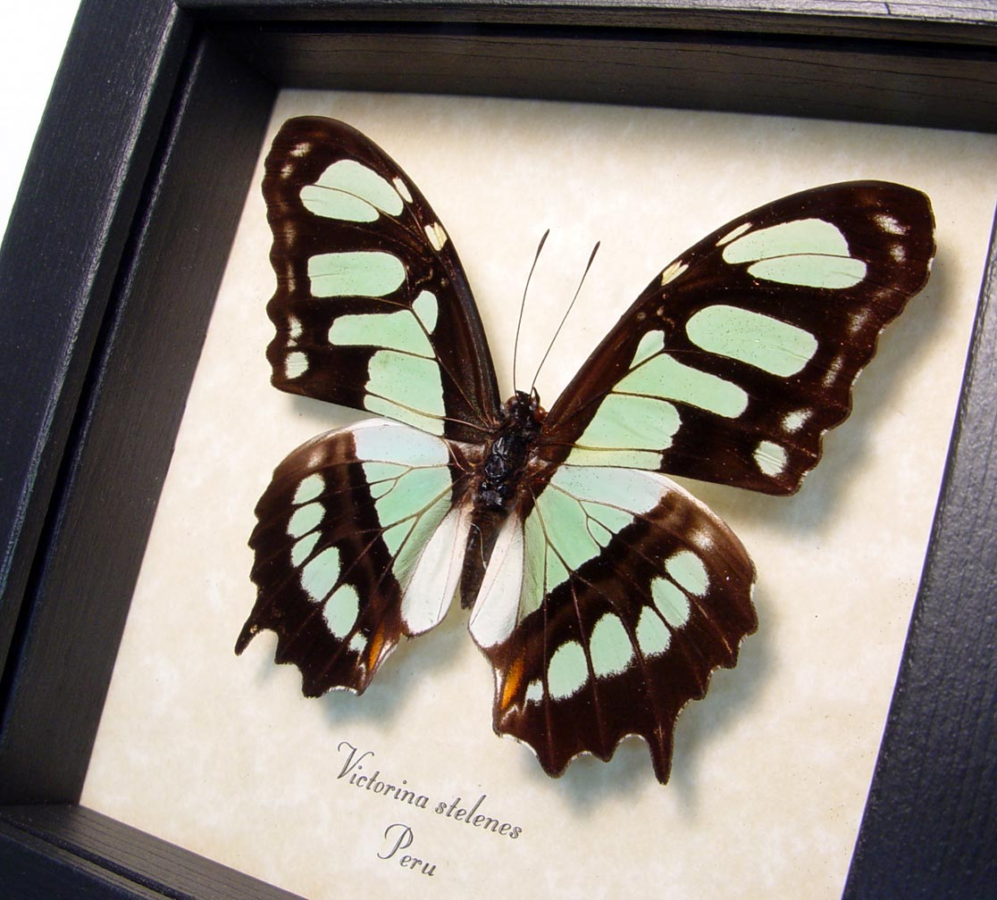 Green Malachite Butterfly Framed Victorina stelenes