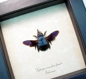 Blue Carpenter Bee Framed Xylocopa caerulea Female ooak