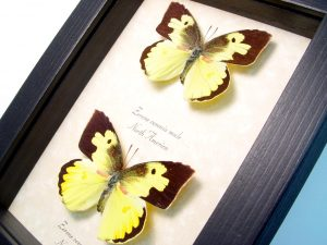 Zerene cesonia Pair Southern Dogface Butterfly Set ooak