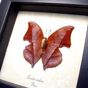 Leaf mimic Butterfly Zaretis isidora Verso ooak
