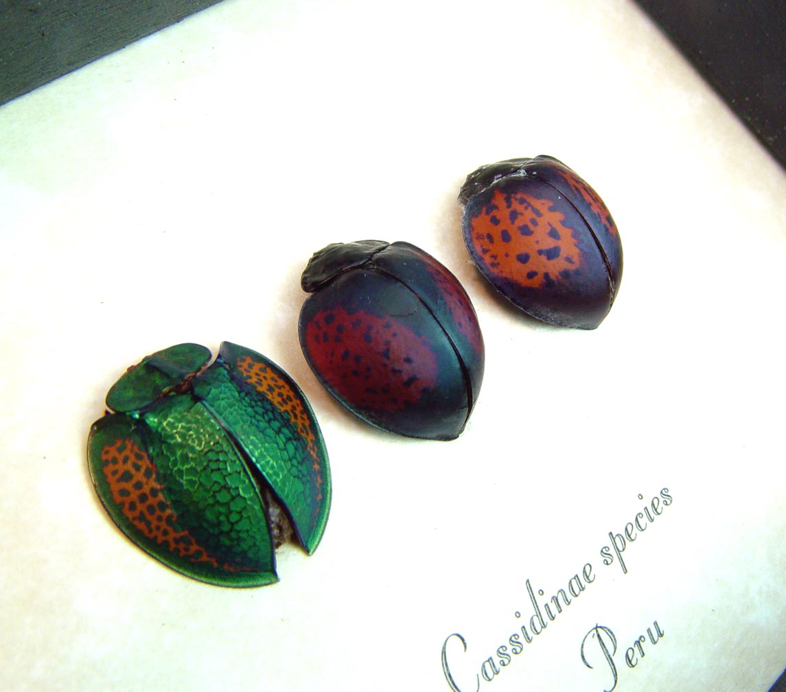 Beetle Collection Colorful Tortoiseshell Beetles ooak