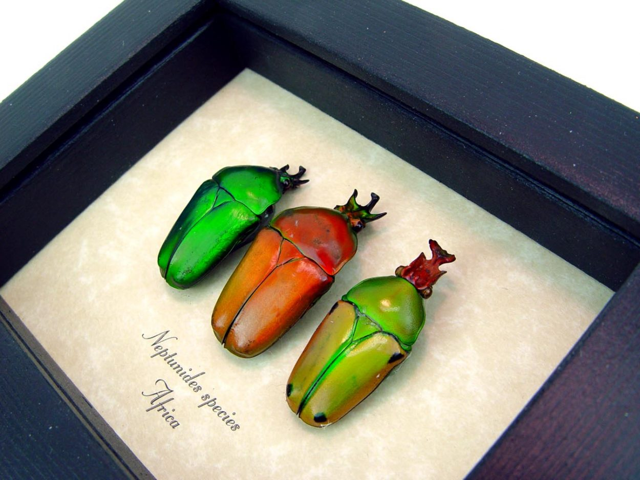African Beetle Collection Neptunides Orange Green male Beetles  Species: Neptunides species male set of 3 Origin: Africa Frame size: 4″ x 5″ Frame Color: Black