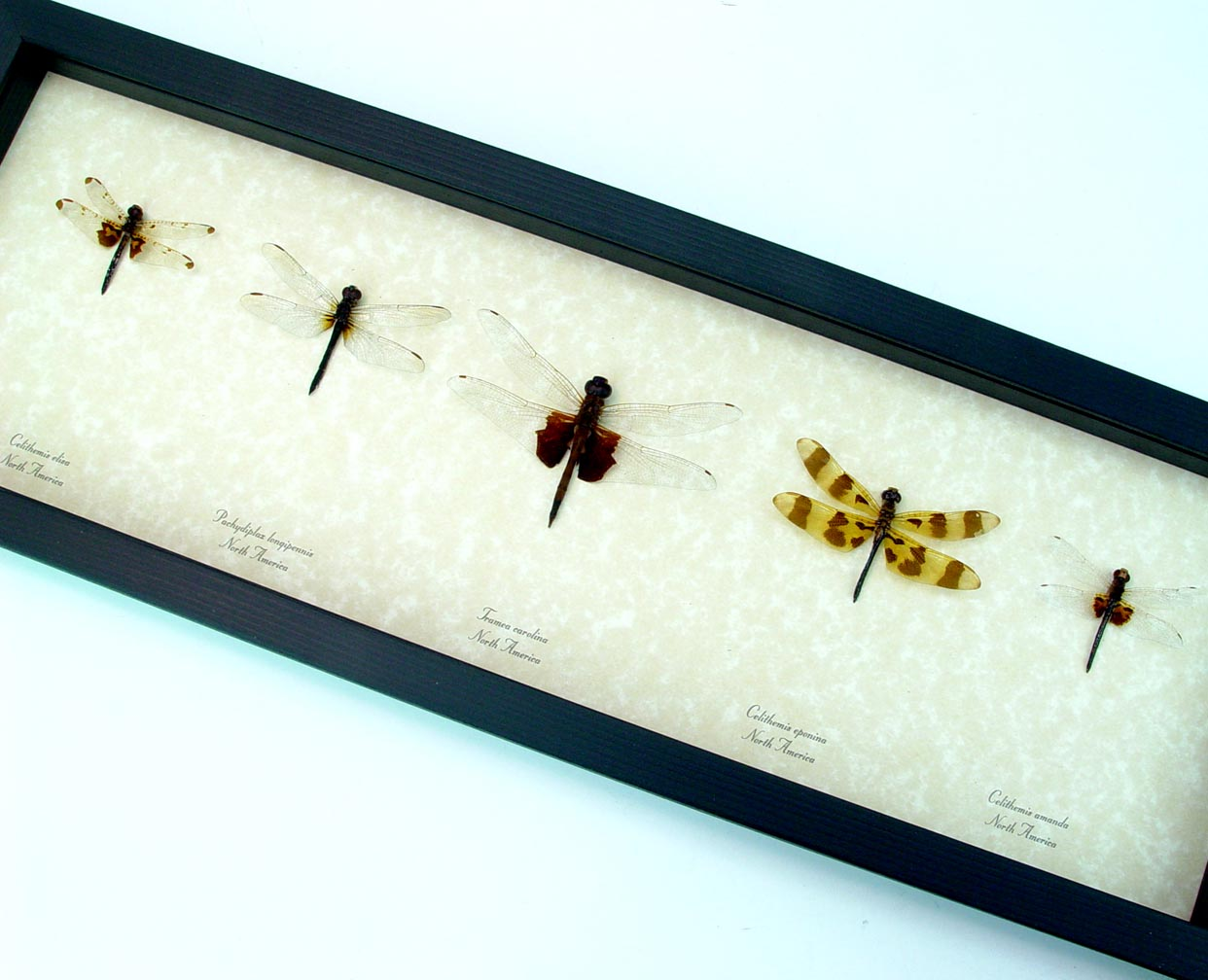 Dragonfly Collection North American Dragonflies Set of 5 ooak