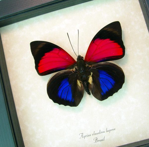 Agrias Claudina Lugens Real framed Butterfly ooak