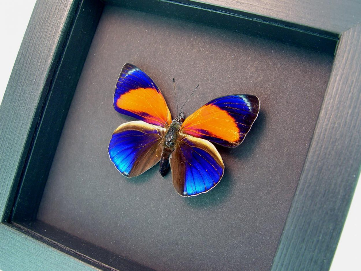 Asterope markii Orange Blue Butterfly Moonlight Display ooak