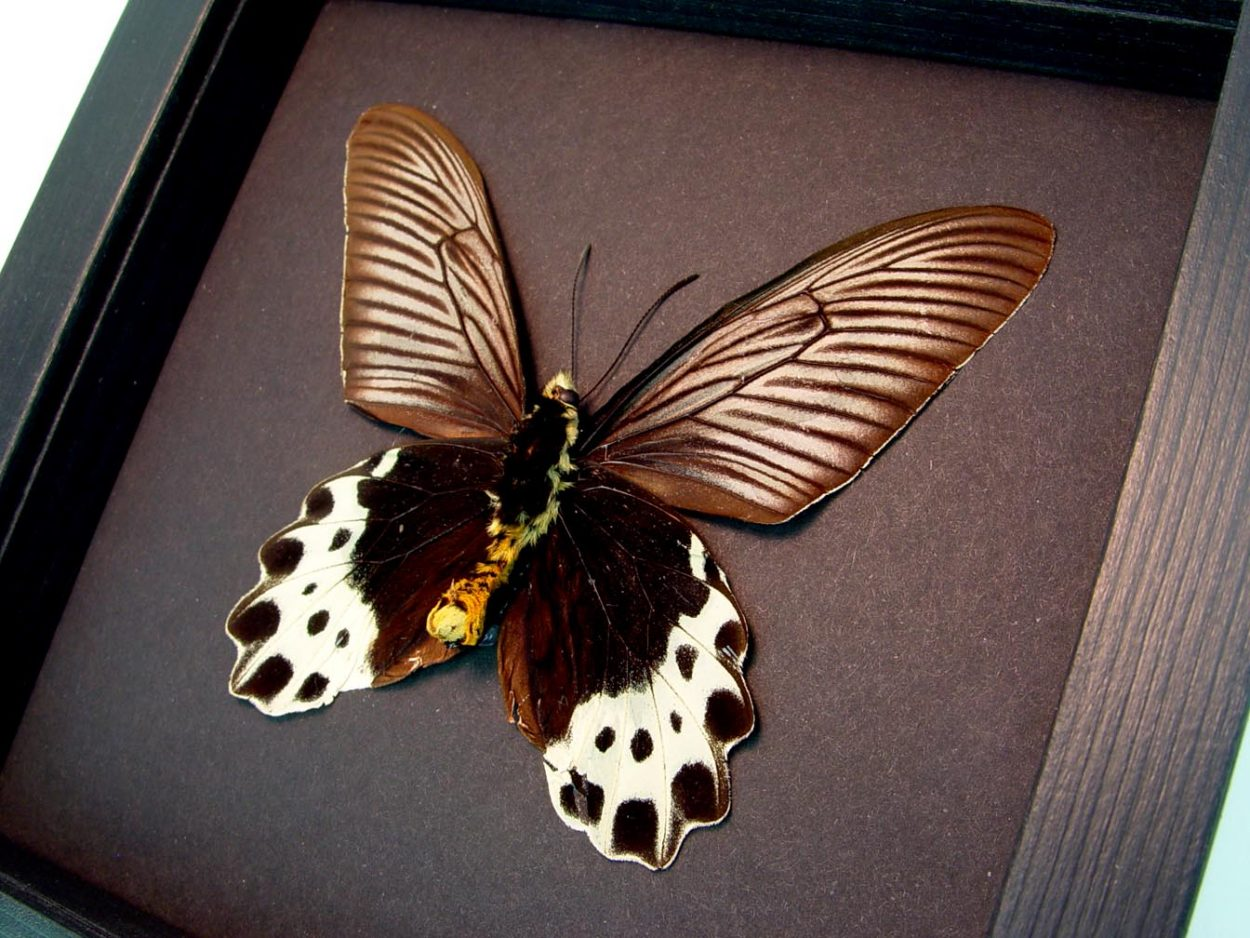 Atrophaneura priapus verso White-head Batwing Framed Butterfly Moonlight Display ooak