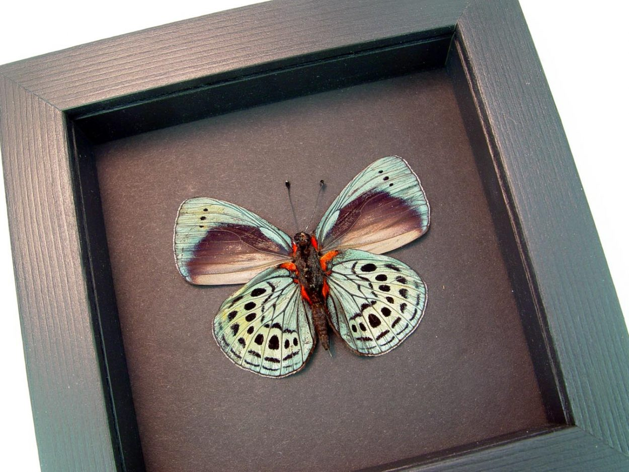Charles Darwin Butterfly Moonlight Display ooak