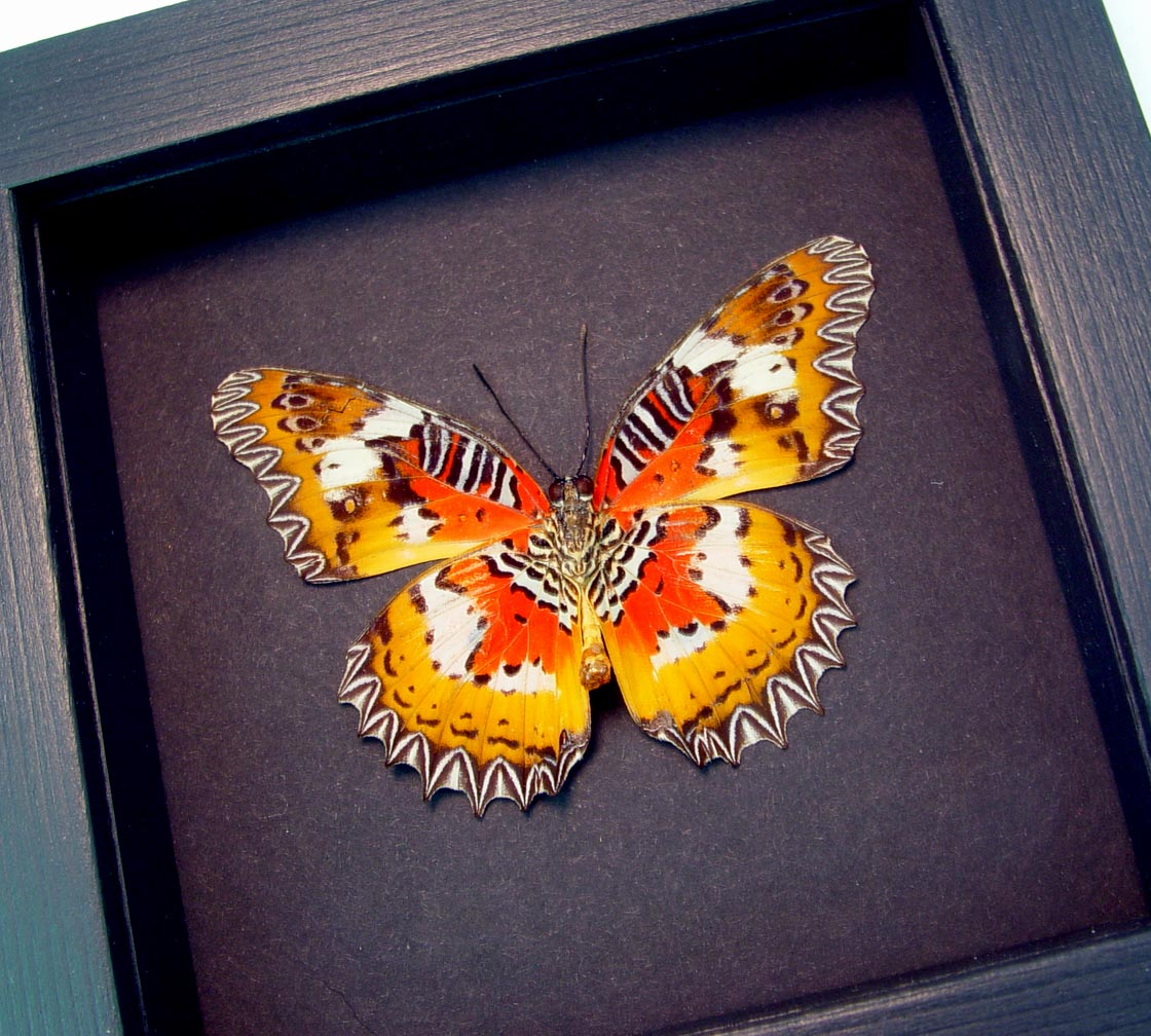 Framed Malay Lacewing Butterfly Cethosia hypsea hypsina Verso Moonlight Display ooak