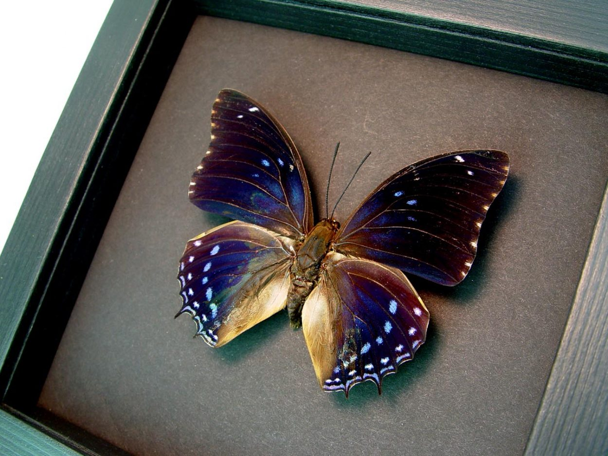 Charaxes mixtus Blue African Butterfly Framed Butterfly Art Moonlight Display ooak