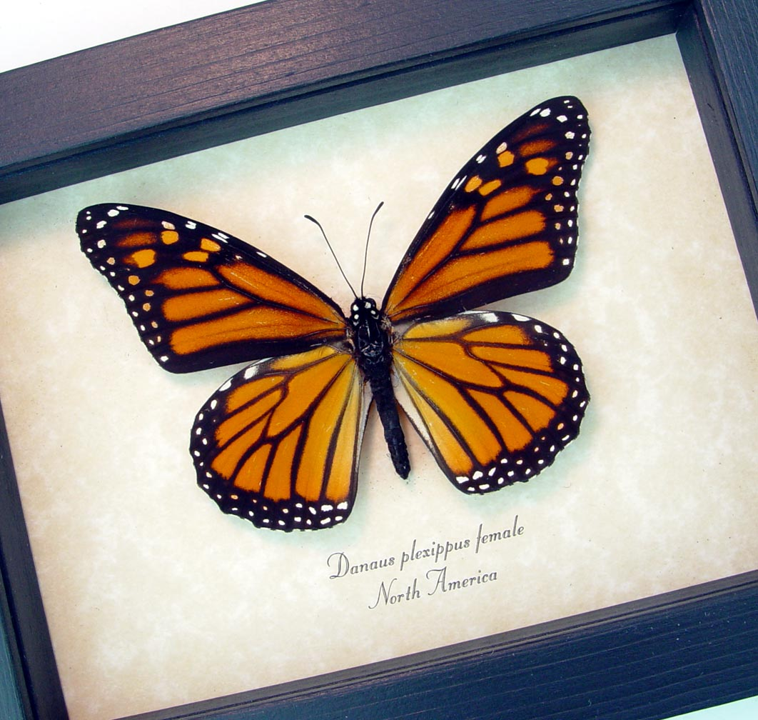 Danaus plexippus Female Framed Monarch Butterfly ooak