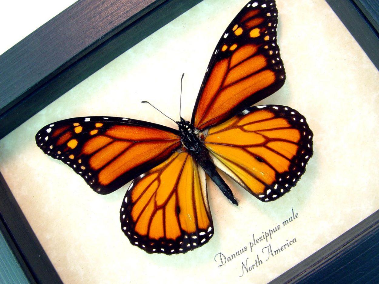 Danaus plexippus Framed Monarch Butterfly ooak