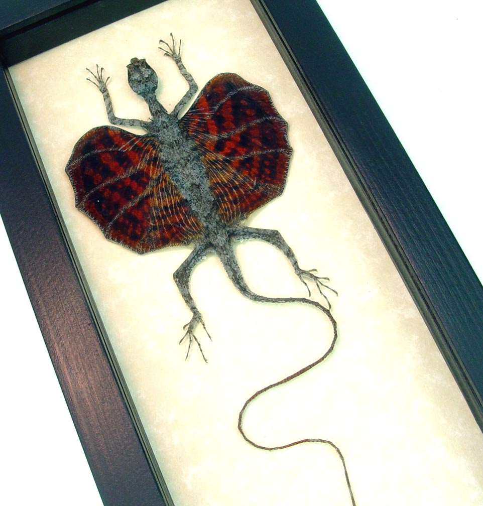 Draco Brown Flying Dragon Lizard Real Framed Taxidermy Lizard ooak