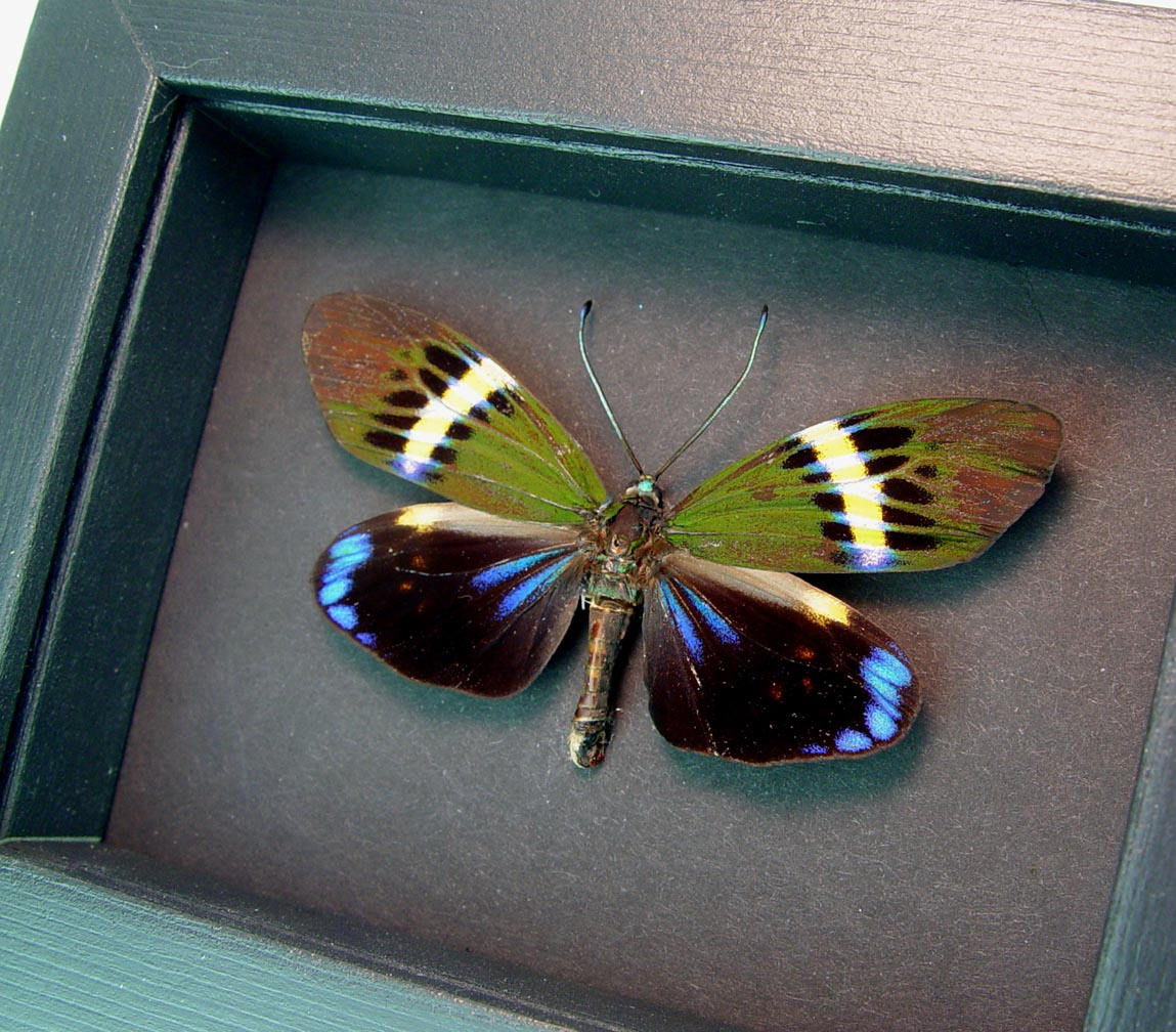 Eterusia repleta male Day Flying Moth Moonlight Display  ooak