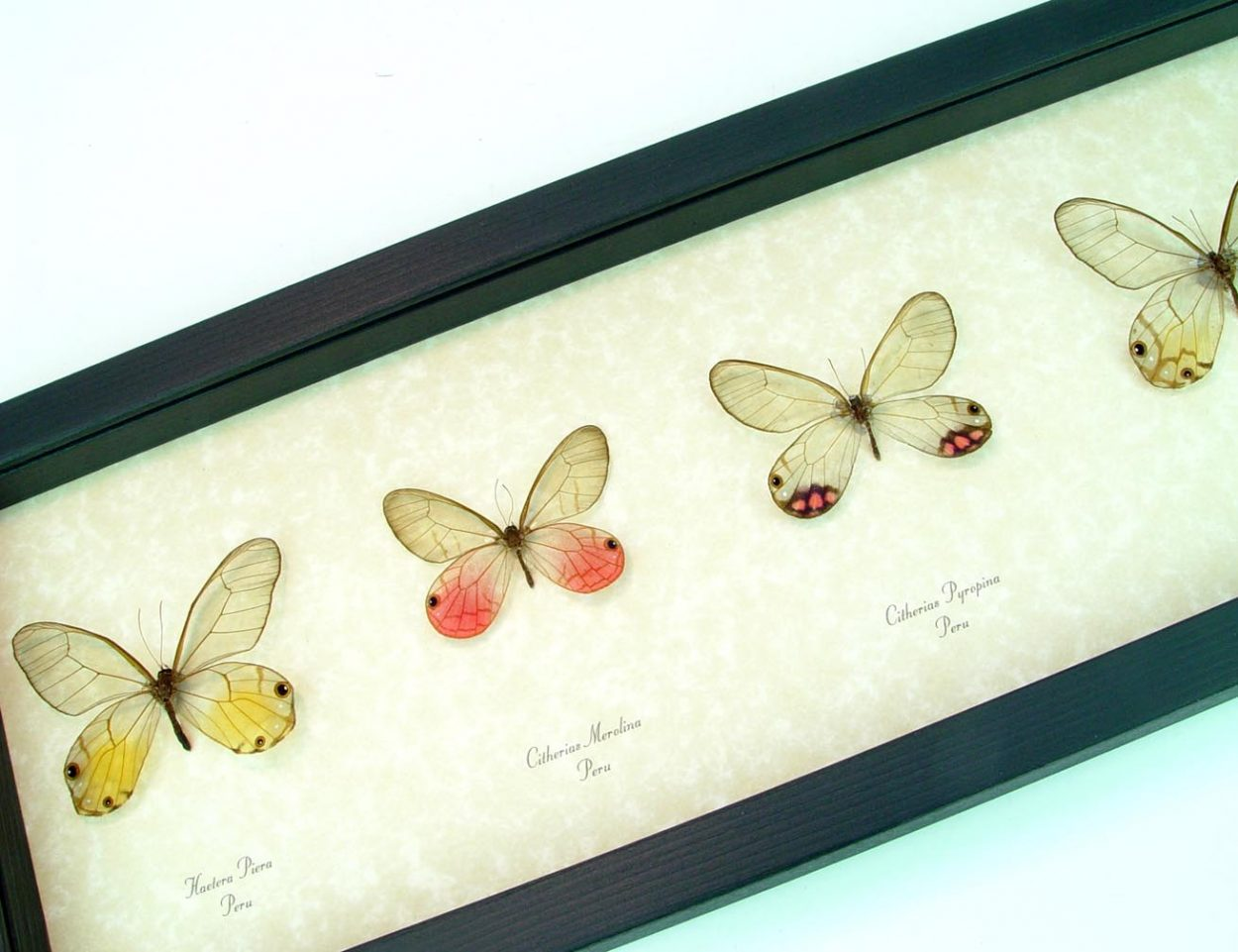 Glasswing Butterfly Collection Set 4 Butterflies ooak