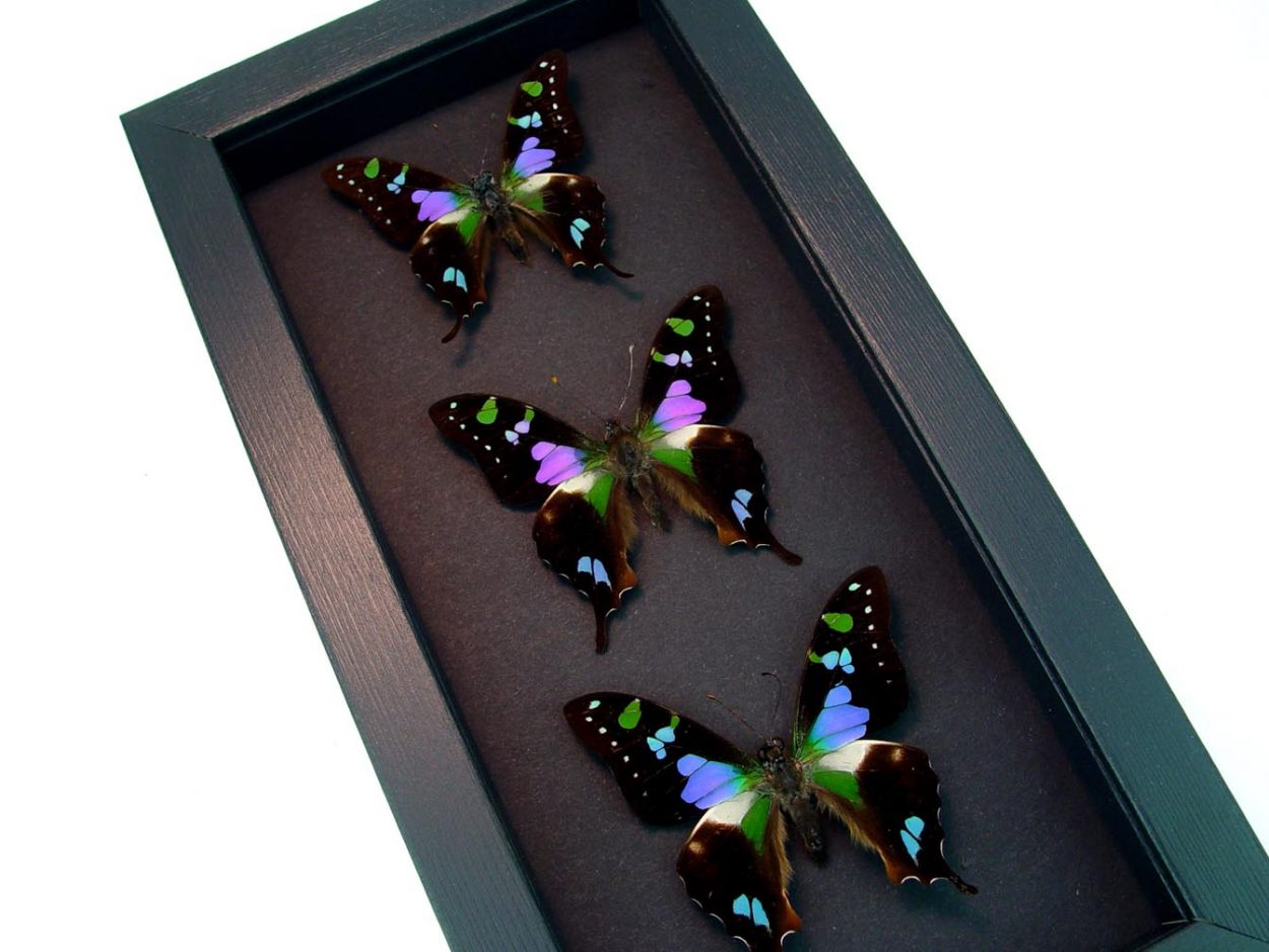 Graphium Weiskei Butterfly Collection Moonlight Display ooak