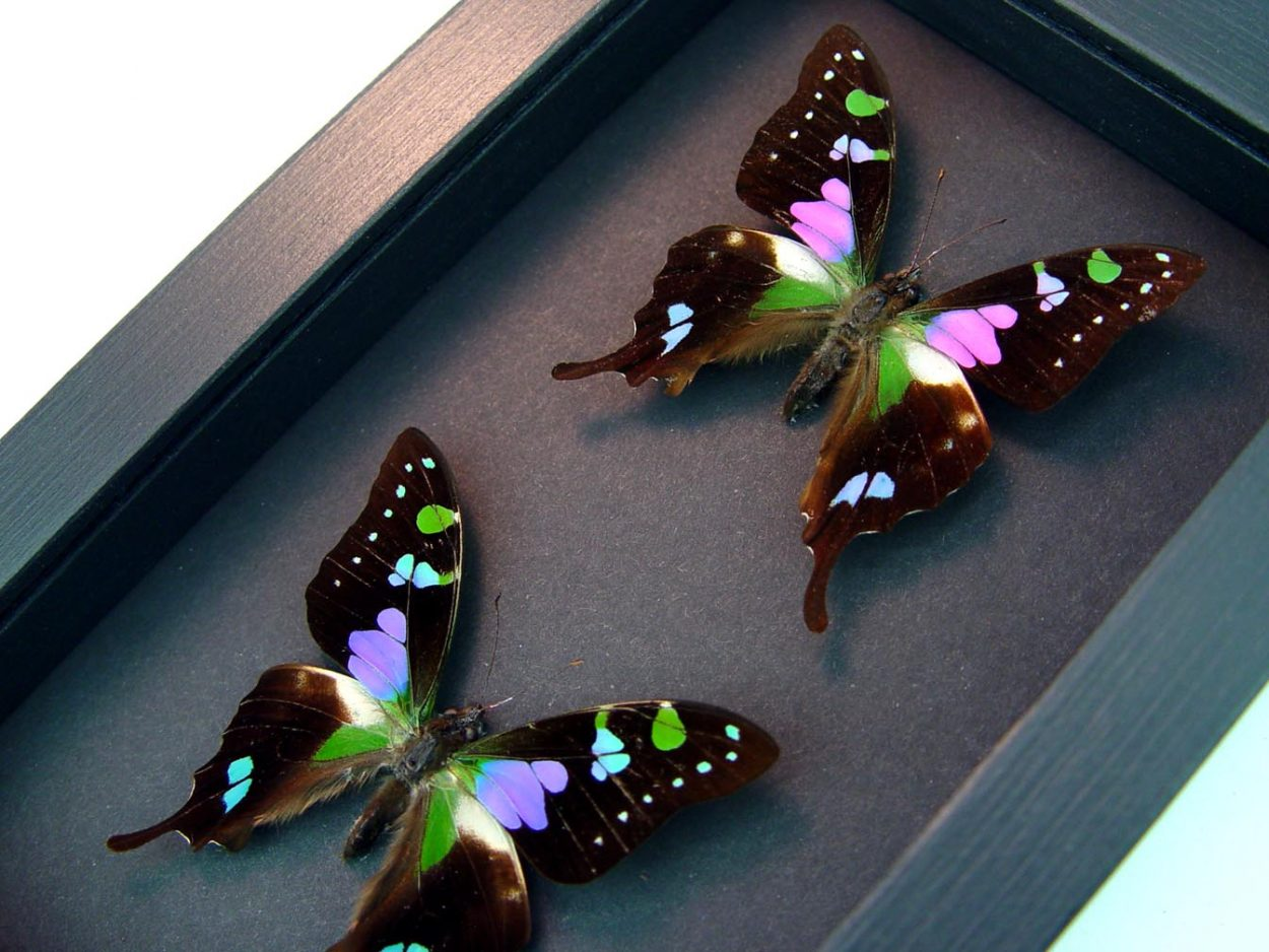 Graphium Weiskei Set Purple Spotted Swallowtail Butterflies Moonlight Display ooak