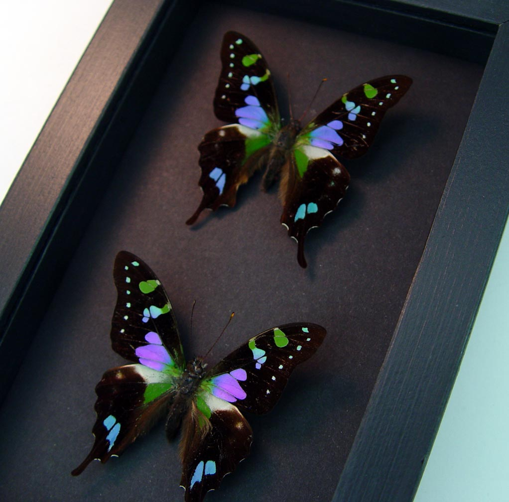 Framed Graphium Weiskei Butterfly Set Moonlight Display ooak