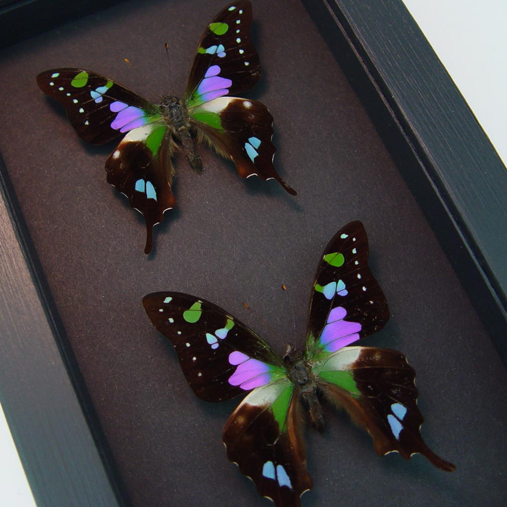 Graphium Weiskei Set Swallowtail Butterflies Moonlight Display ooak